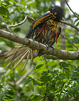 Chestnut-eared Aracari (Pteroglossus castanotis) after bathing, The Pantanal, Mato Grosso, Brazil Photo by: Peter Llewellyn