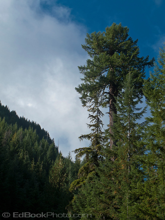 A lone large mature Douglas Fir (Pseudotsuga menziesii) stands in a Noble Fir forest in the mountainous Tahoma State Forest in Washington state's Cascade mountain Range.