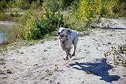 """English Setter """"Rudy"""" rennt am 26.09. 2018 am Teich von Stara Lysa, (Tschechische Republik).  Rudy wurde Anfang Januar 2017 geboren."""
