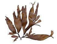 dulse<br /> Palmaria palmata