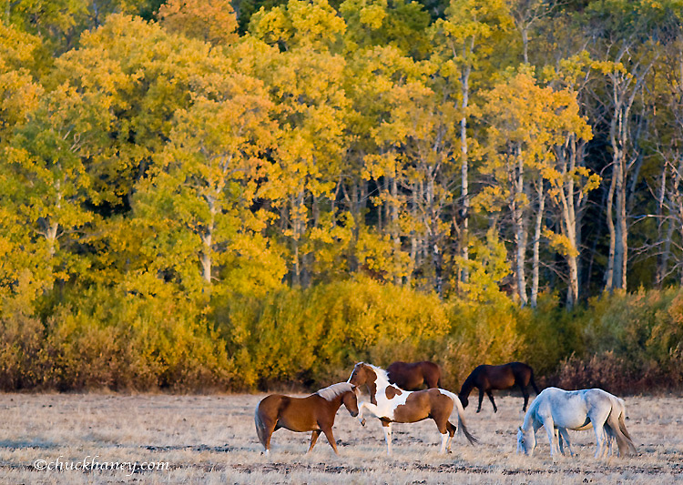 Horses graze in pasture just outside of Glacier National Park in Montana