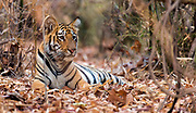 Tiger cub in the dense forest of Tadoba NP, India.