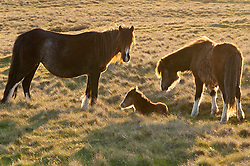 © Licensed to London News Pictures. 04/05/2019. Builth Wells, Powys, Wales, UK. Welsh mountain ponies and foals are seen in the evening light on the Mynydd Epynt range near Builth Wells in Powys after a fine sunny day with blue skies and a cold North East wind. Photo credit: Graham M. Lawrence/LNP