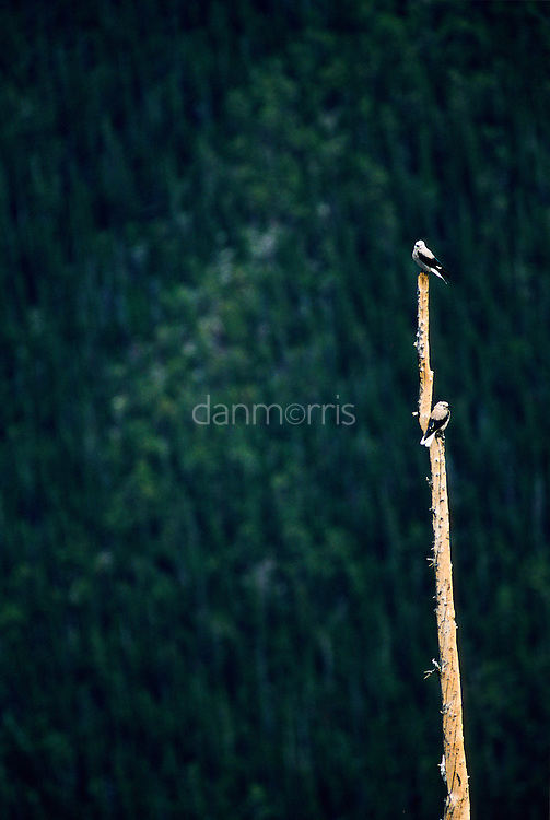 Pair of birds perched on a dead tree against a backdrop of evergreens in Rocky Mountain National Park, Colorado