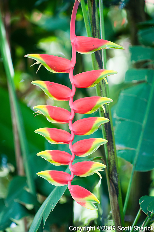 A Hanging Lobster Claw flower from Hawaii.