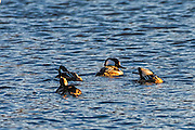 Flock of Hooded Merganser - Lophodytes cucullatus swimming in the early morning light