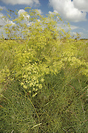 HOG'S FENNEL Peucedanum officinale (Apiaceae) Height to 1.5m. Hairless, dark green perennial with solid stems. Restricted to coastal grassland on clay soils. FLOWERS are deep yellow and borne in open umbels, 15-20cm across (Jul-Sep). FRUITS are narrow-ovate. LEAVES are 4- to 6-trifoliate with flattened, narrow segments. STATUS-Restricted to a couple of locations on the Thames Estuary.