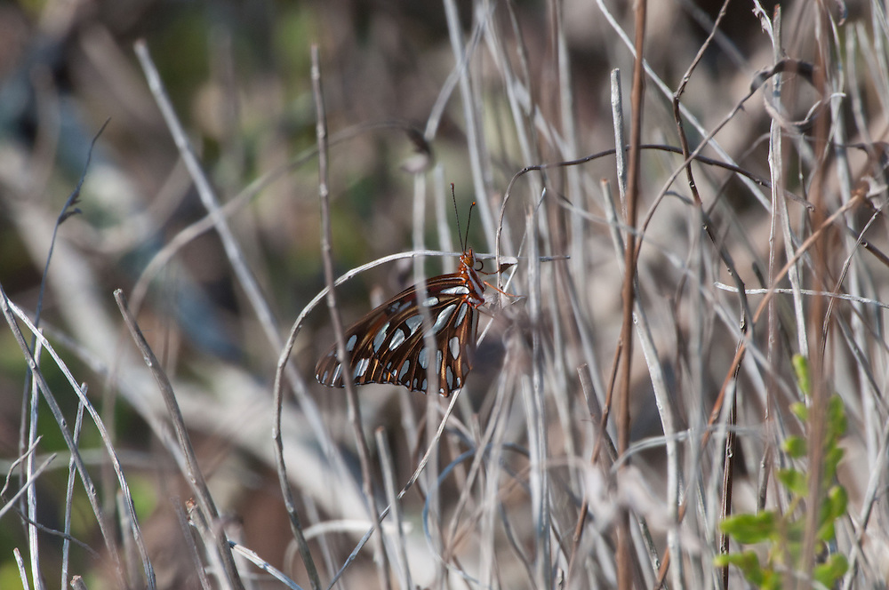 Monarch Butterfly (Danaus plexippus), Merritt Island National Wildlife Refuge, Titusville, Florida, US