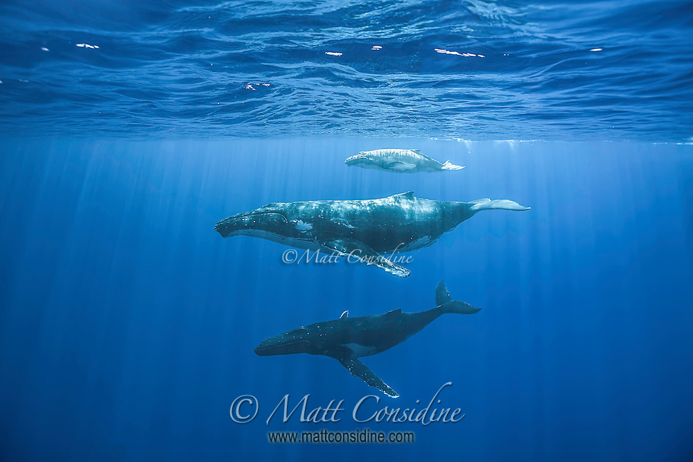 The mother and calf bask near the surface while a smaller male below attempts to bond. (Photo by Underwater Photographer Matt Considine)