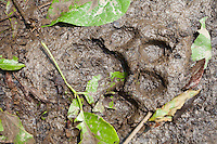 Fresh track of a tiger in Chitwan National Park, Nepal