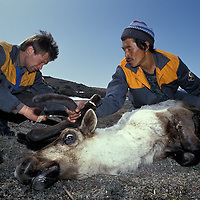 Russia, Magadan District, Koryuk reindeer herders cut off reindeer antlers during spring harvest on Taigonosk Peninsula