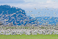 Snow Geese (Chen caerulescens) flock panicing and flying from predators at Fox Island, Skagit River Delta, WA, USA
