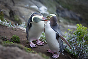 A pair of endangered yellow-eyed penguins take turns preening one another, high atop a cliff along the coast of New Zealand.