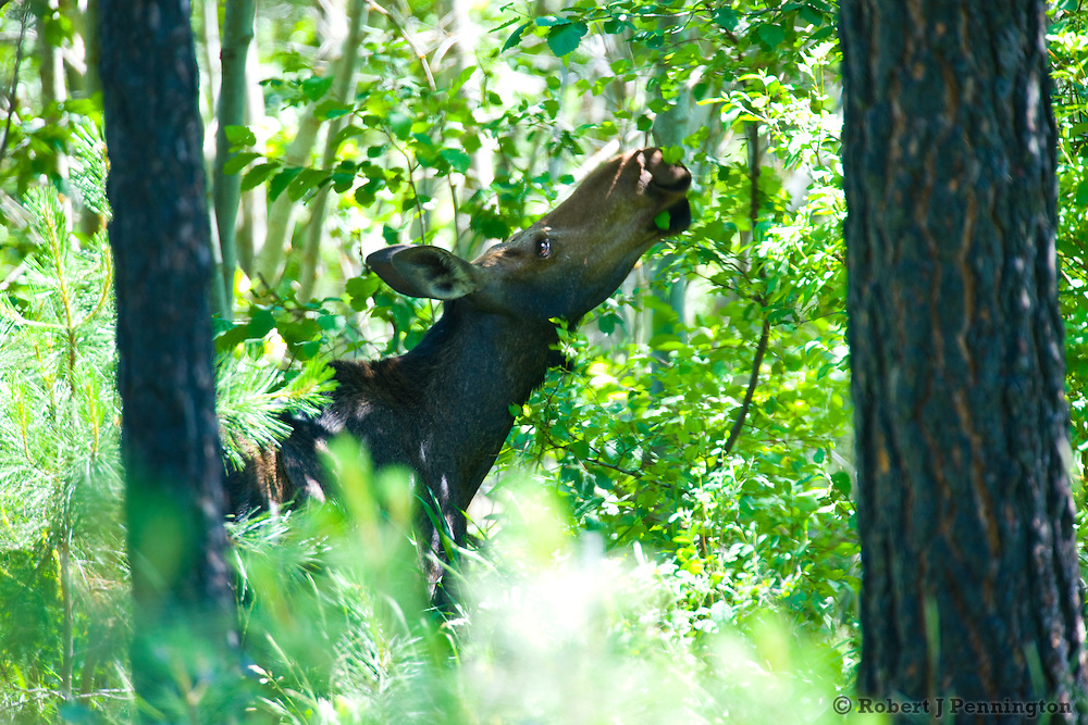A young Moose cow forages in a dense thicket in the Turnbull Wildlife Refuge in Washington