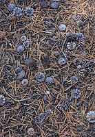 Pine cones in Tuolumne Meadows Yosemite National Park California USA.