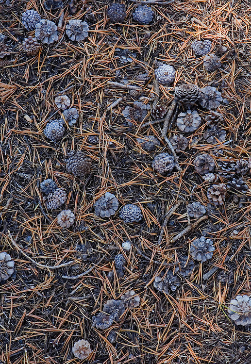Pine cones in Tuolumne Meadows Yosemite National Park California USA.
