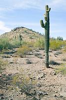Desert hillside with Saguaro Cactus at the Phoenix Desert Botanical Garden Arizona USA&#xA;<br />