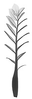 X-ray image of a zuzu plant stalk (Zamioculcas zamiifolia, black on white) by Jim Wehtje, specialist in x-ray art and design images.