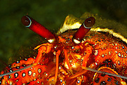 hermit crab, great barrier reef, north queensland
