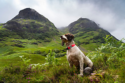 Glen Coe, Scotland, UK. 4 July, 2020. Tourists travel to Glen Coe on first weekend after 5 mile travel restriction was lifted by the Scottish Government. Springer spaniel dog on walk with Glen Coe mountains to rear. Iain Masterton/Alamy Live News