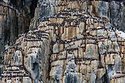 Alkefjellet Bird cliffs<br /> Brunnich's Guillemot<br /> (Uria lomvia)<br /> Spitsbergen<br /> Svalbard<br /> Norway<br /> Arctic Ocean