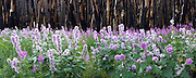 Regrowth of hollyhocks and fireweed after natural fire in Glacier National Park, Montana, USA