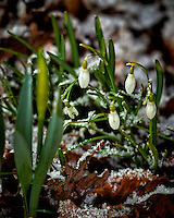 Snow drops after a quick snowfall. Winter nature in New Jersey. Image taken with a Nikon Df camera and 70-200 mm f/2.8 lens (ISO 400, 200 mm, f/2.8, 1/250 sec).