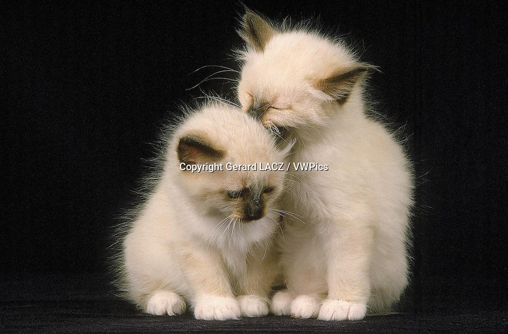 Birmanese Domestic Cat, Kittens against Black Background