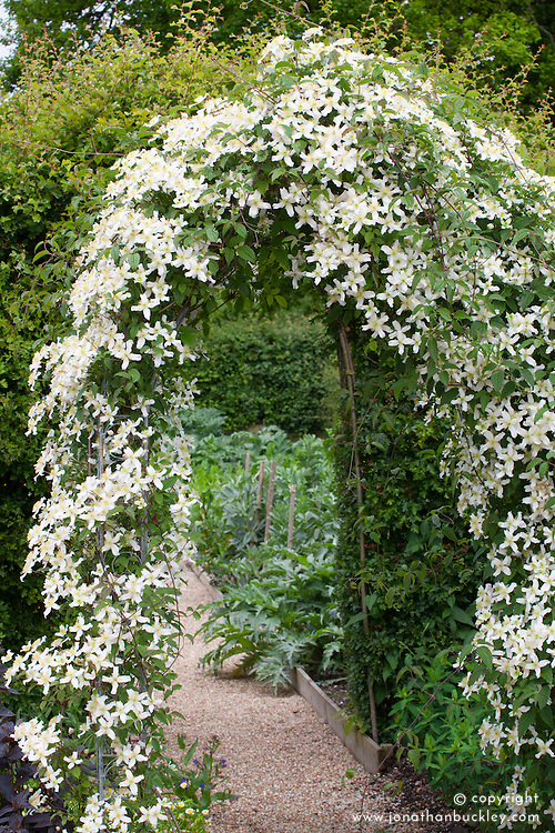 Clematis montana var. wilsonii growing over an arch in the cutting garden