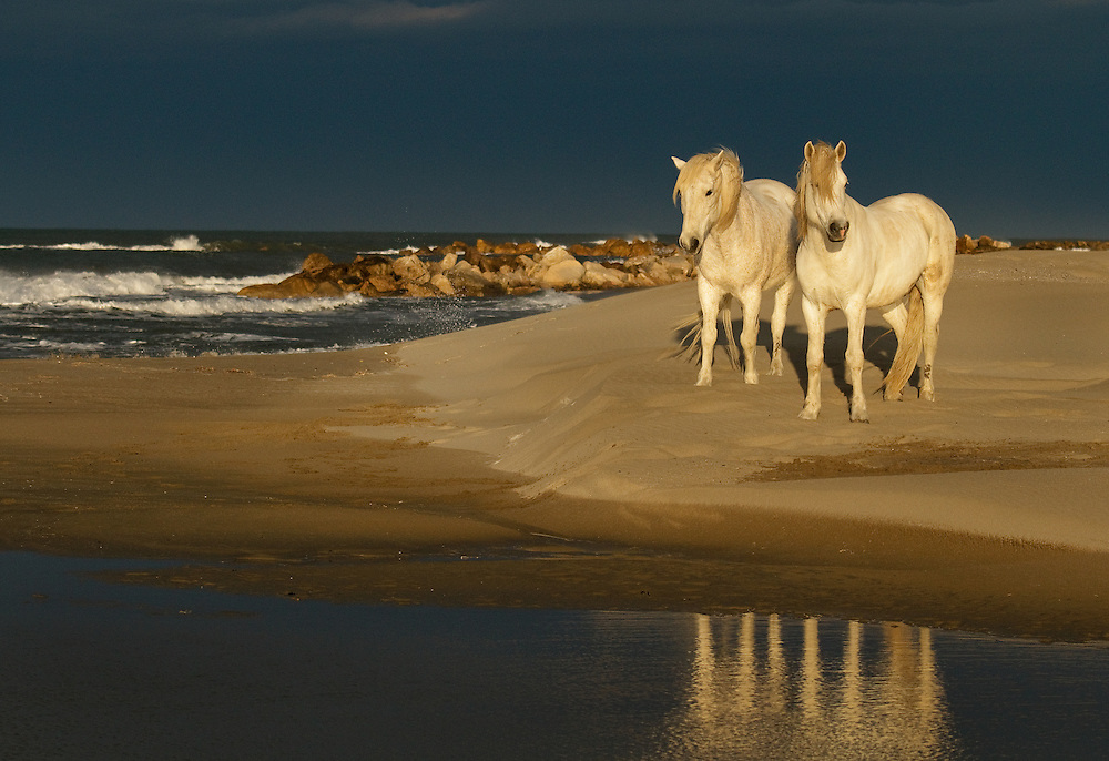 White horses of Camargue France running free  through marshy areas and  splashing water.