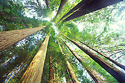 Redwood trees, Jedediah Smith Redwoods State Park, California<br />