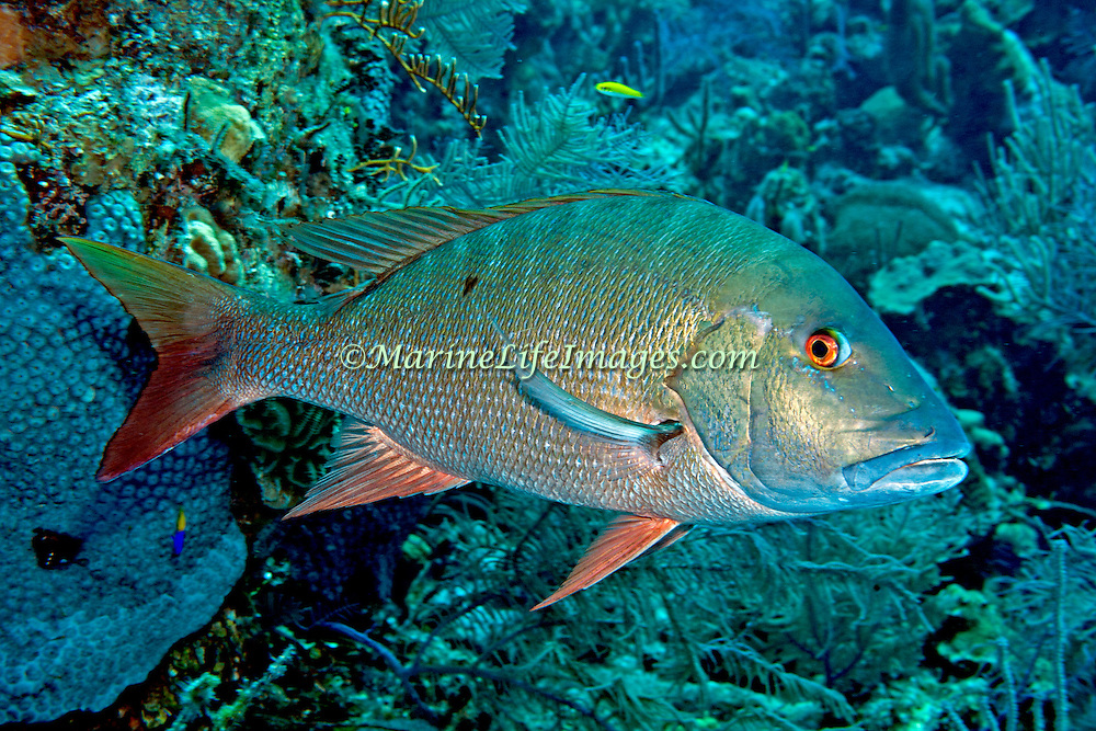 Mutton Snapper drift above reefs and sand between reefs in Tropical West Atlantic; picture taken Grand Turk.