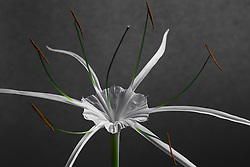 Hymenocallis-Beach Spider Lily#5