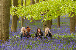 © Licensed to London News Pictures. 01/05/2015. Ringshall, Hertfordshire, UK. Friends, Olivia, Maya, Hanna and Sam, enjoy a picnic amongst the bluebells.  Just in time for the early May bank holiday, the bluebells are nearly in full bloom in Dockey Wood, part of the Ashridge Estate. This wood is renowned for its carpet of bluebells every spring and is regarded as one of the finest examples in the country. Photo credit : Stephen Chung/LNP