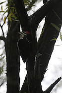Pileated Woodpecker hanging out in a tree near the Chemung River in upstate, NY.