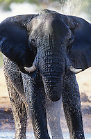 African Elephant (Loxodonta Africana) bathing at waterhole