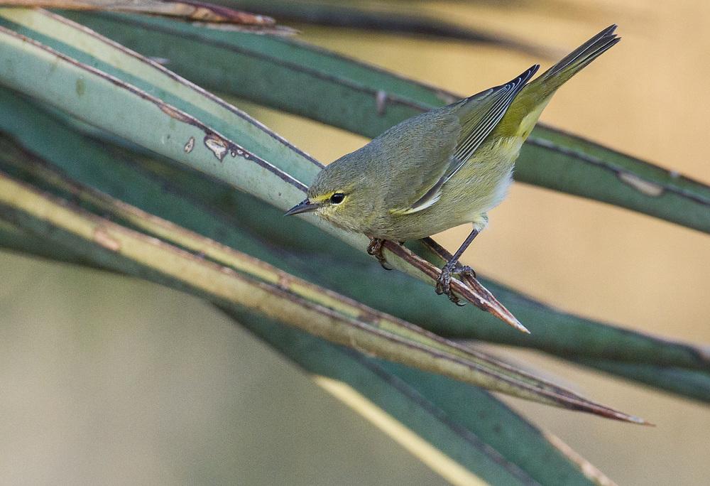 Oreothlypis celata, South Texas
