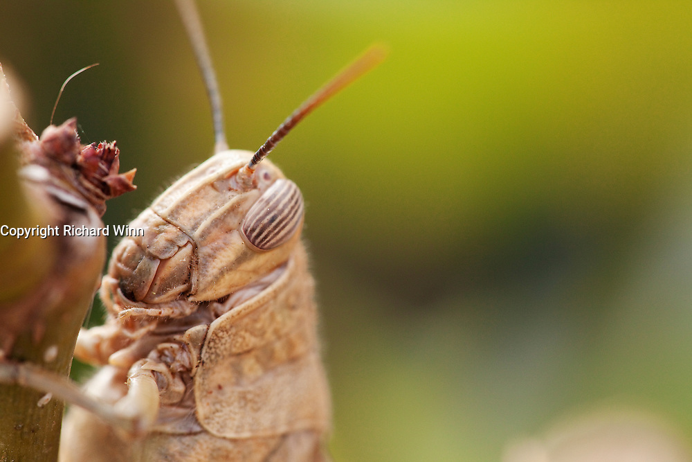Closeup view of the head of an Egyptian grasshopper on a rose in an urban garden on the Costa Blanca in Spain.