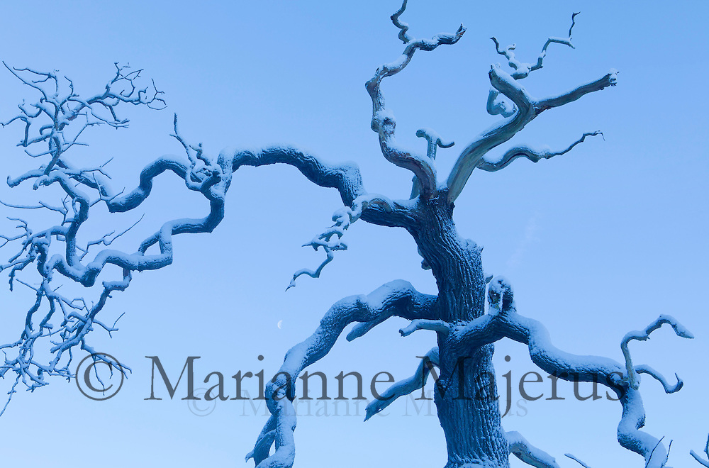 Oak branches against blue sky, moon