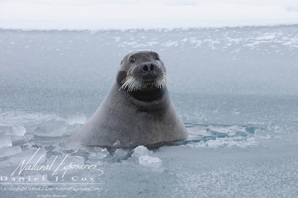 Bearded Seal, Beaufort Sea, Alaska.