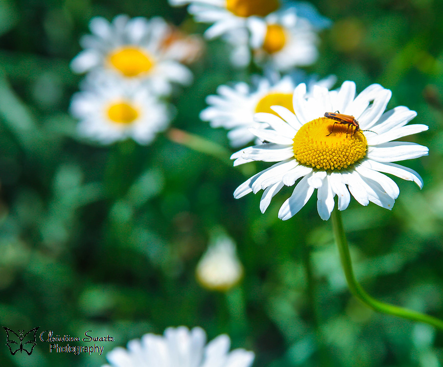 Insect On Daisy image for sale, a daisy is one of the most common but beautiful flowers on the planet and can be found almost everywhere, meaning he is with her always, wherever he is. The most common form of a daisy comes from a Greek wordmeaning star, so she is the star of his show, or life.