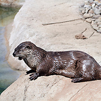 A North American River Otter, Lontra canadensis, also called the Northern River Otter or the Common Otter. Lehigh Valley Zoo, Schnecksville, Pennsylvania, USA