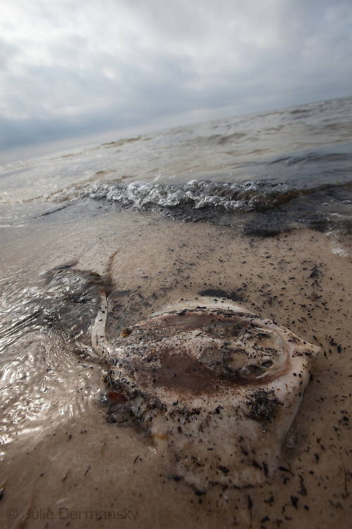 Dead stingray on the beach in Christian Pass  Mississippi.<br /> An unprecedented number of dead animals   have washed up on the shores of Mississippi along the Gulf of Mexico starting almost a year after the BP oil spill.