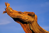 Bristlecone Pine snag at sunset, Ancient Bristlecone Pine Forest, White Mountains, CALIFORNIA