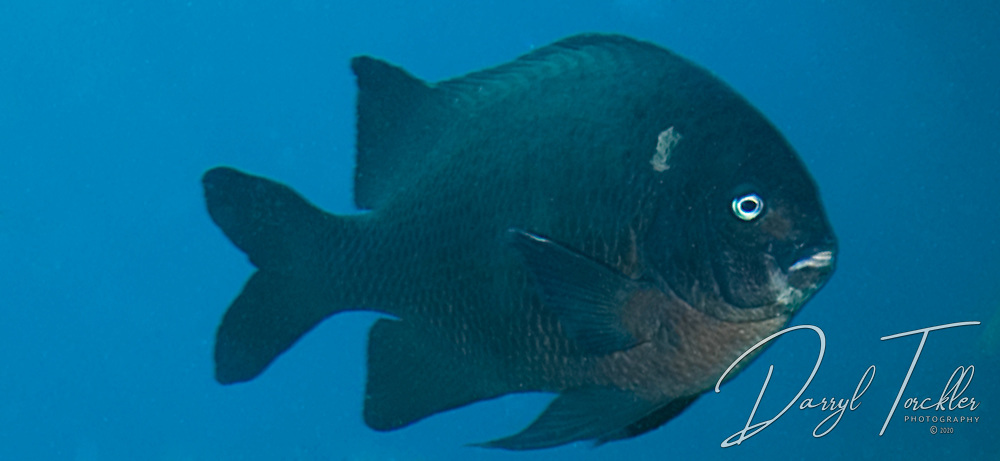 Black angel fish: Parma alboscapularis, showing its white ear, usually shows when the fish is annoyed. New Zealand