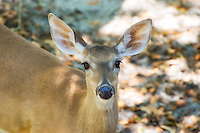 This white-tailed deer was apparently used to people as it let me get this close to it just outside of Tallahassee on the Florida Panhandle. Extremely common all over the United States and Canada, its range extends from the Atlantic Ocean and west all the way to the Rocky Mountains (fantastic natural barrier), where its cousin - the black-tailed deer completes the range all the way to the Pacific Ocean. Somehow the white-tailed deer has nearly made it to the Pacific Ocean in Canada, and has a strong toehold in all of Central American and the northern part of South America. This is a huge native range for an ungulate (deer, elk, moose family) and it has been introduced in many other parts of the word such and the Caribbean Islands, Europe and even New Zealand.