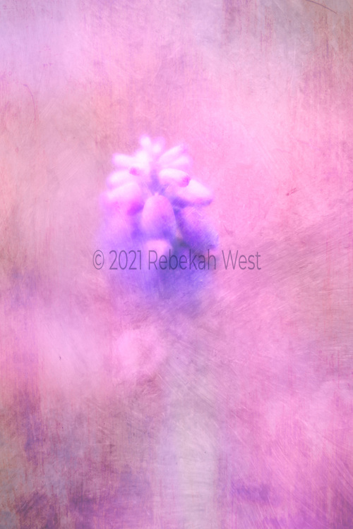 abstract, hyacinth emerging from paint of similar colors blue violet and red violet with white accents, vertical field of rose, pink, villet, mauve, peach, flower art, feminine, high resolution, licensing, iridescent, 3394 x 5092