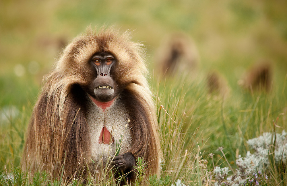 Male Gelada baboon, Theropithecus gelada, bearing his teeth on the Guassa Plateau of the Ethiopian Highlands