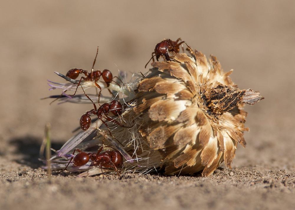 Red Harvester Ants, Pogonomyrmex;<br /> Photographer: Carmen Hagopian<br /> Properties:  Fred Jones Sanctuary &amp; Packery Channel Oak Motte Sanctuary / Audubon Outdoor Club of Corpus Christi, Inc. &amp; North Bay Sanctuary/Coastal Bend Audubon Society<br /> San Patricio/Nueces Counties