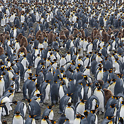 King penguin (Aptenodytes patagonicus) colony, Salisbury Plain. South Georgia Island.